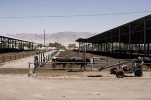 Les vaches du kibutz, avant la traite sont abritées du soleil du désert. thumbnail