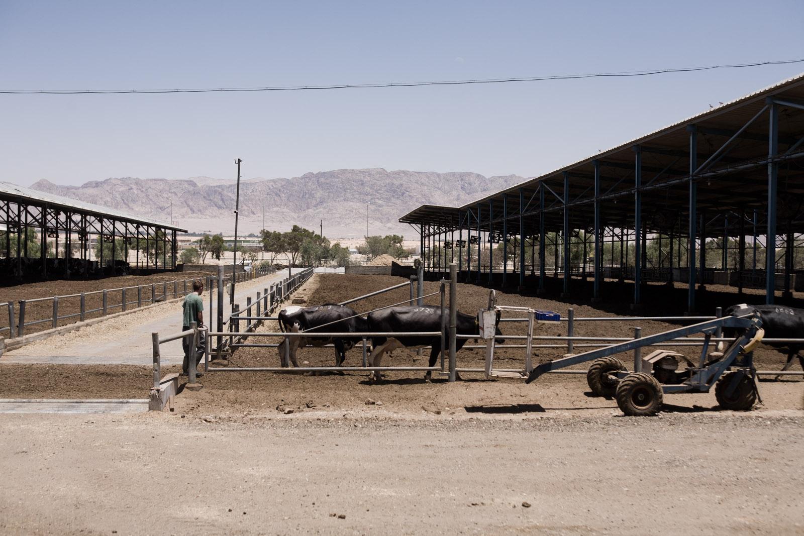 Les vaches du kibutz, avant la traite sont abritées du soleil du désert.